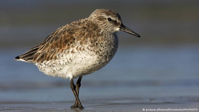 Vogel Knutt Calidris canutus (picture alliance/blickwinkel/McPHOTO)