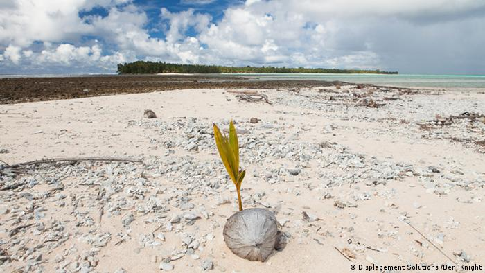 Sprouting coconut on beach in Ontong Java (Photo: Beni Knight)