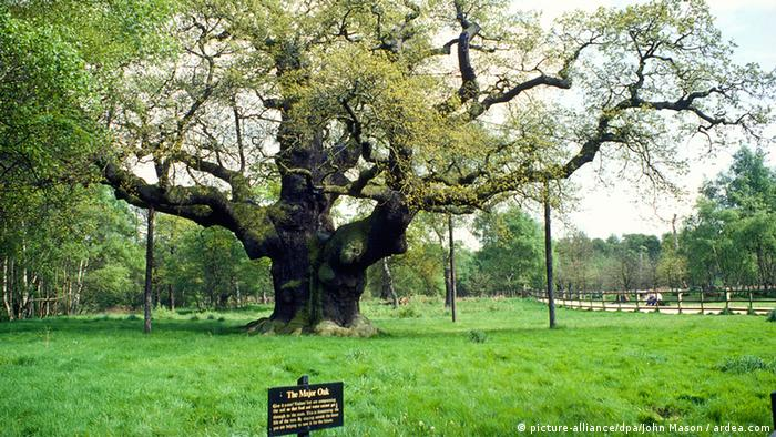 Robin Hood Major Oak 700 Jahre alte Eiche Sherwood Forest Nottingham (picture-alliance/dpa/John Mason / ardea.com)