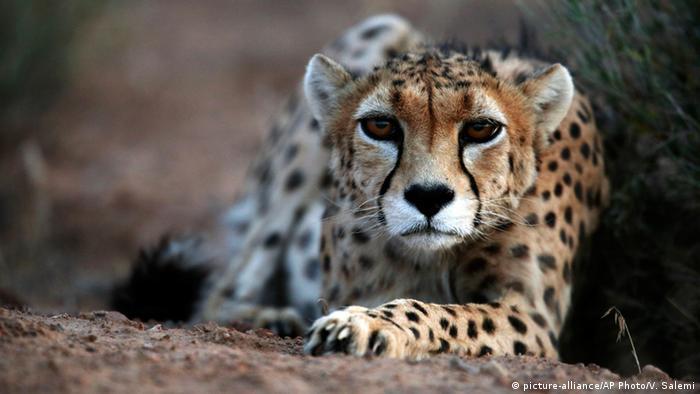 Galerie - Asiatischer Gepard