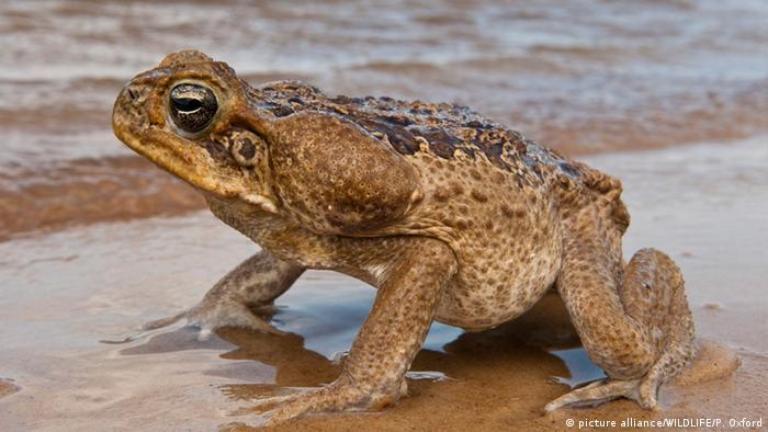 Guyana Agakröte