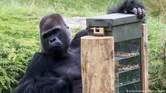 Gorilla im Berliner Zoo Foto: Zoo Berlin, dpa - Bildfunk