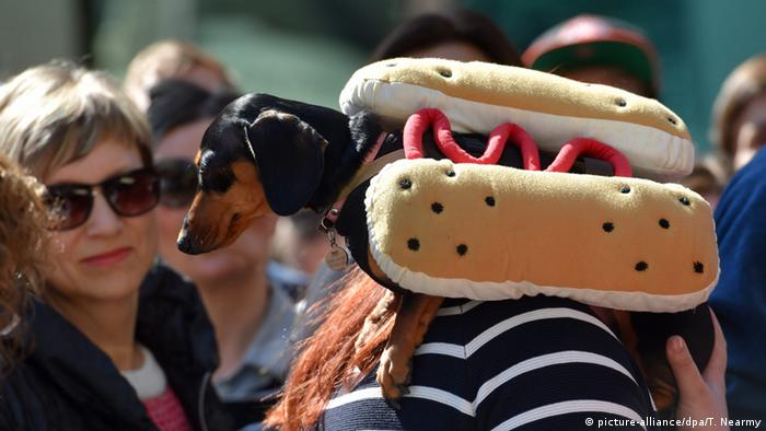 Su nombre en alemán, Dachshund, surge del hecho de que se trata de un perro criado para cazar en los techos. Gracias a su tamaño, puede perseguir a sus presas hasta sus escondites. Como entonces, los salchichas son buenos mordedores: cuando Guillermo II llegó de visita donde el príncipe heredero de Austria, Francisco Fernando, vio cómo su mascota se comía a los faisanes de su anfitrión.