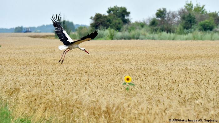 Пшеничне поле (AFP/Getty Images/S. Supinsky)
