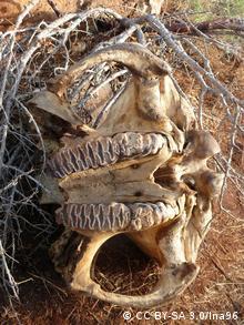 Un cráneo de elefante.