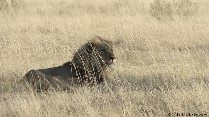 Un león en el campo.