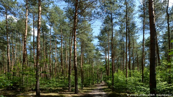 Brandenburgischer Kiefernwald