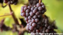 Bildergalerie Weinlandschaften in Deutschland - Trauben der Sorte Roter Riesling