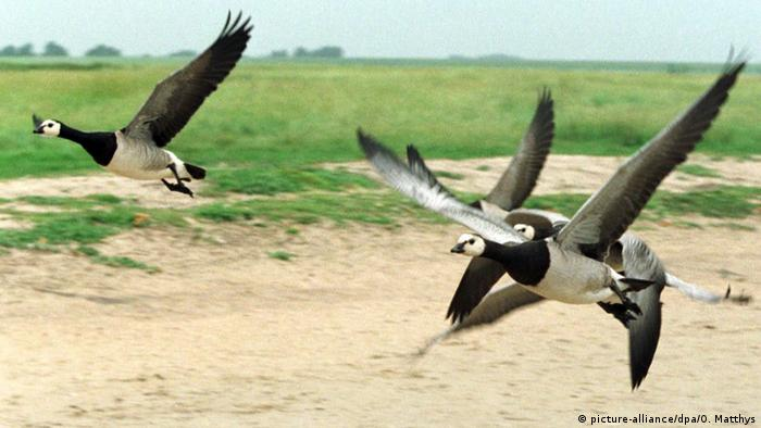 Barnacle geese flying over Het Zwin in the Netherlands
