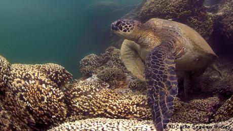 Green turtle on a bleached coral reef in Hawaii. XL Catlin Seaview Survey.