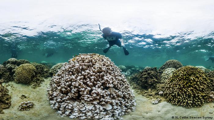 A marine biologist inspects a heavily bleached coral in Kaneohe Bay, Hawaii in October 2014 (Photo: XL Catlin Seaview Survey)