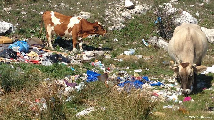 Kühe und sauberes Land