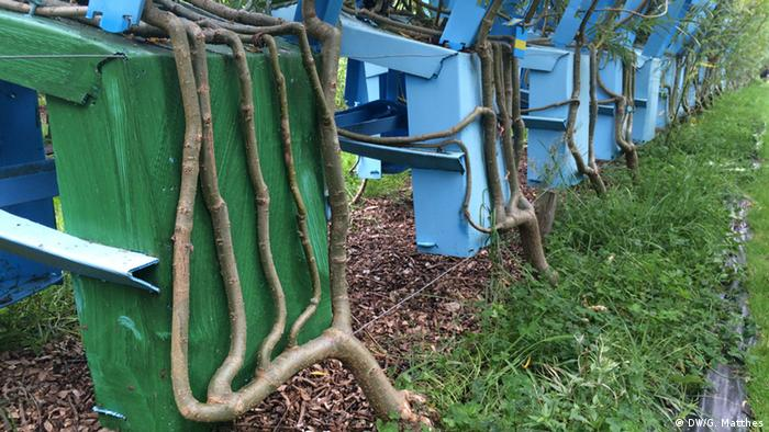 Willows growing into chairs (Photo: Georg Matthes)