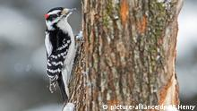 Downy Woodpecker Specht Vogel Baum Natur Tier