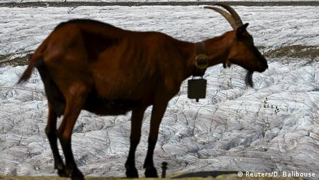 BdW Global Ideas Bild der Woche KW 42/2015 Ziege Gletscher