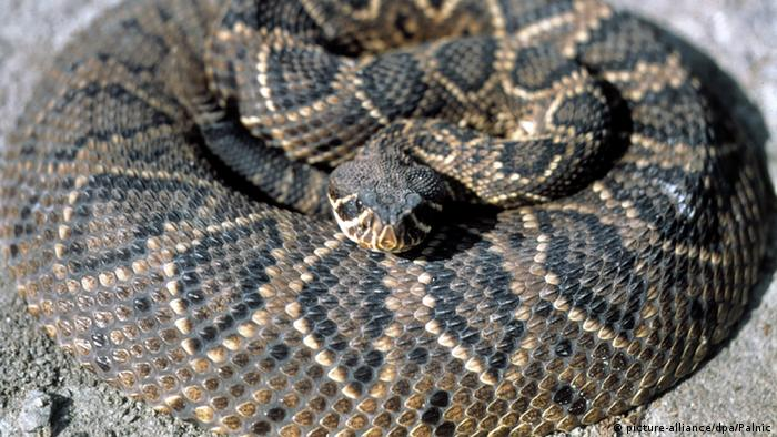 A coiled-up rattlesnake