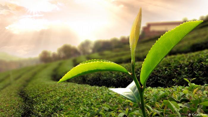 Grüner Tee Plantage