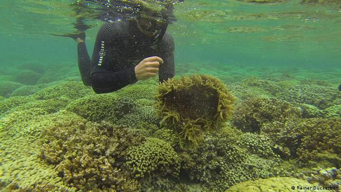 Invasive algae in Hawaii Photo: Rainer Dückerhoff