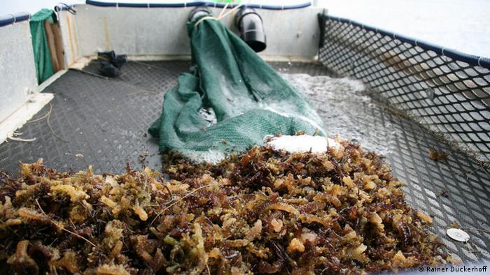 Invasive algae in Hawaii Photo: Rainer Dückerhoff