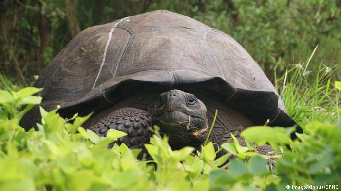 A giant tortoise among green grass and trees