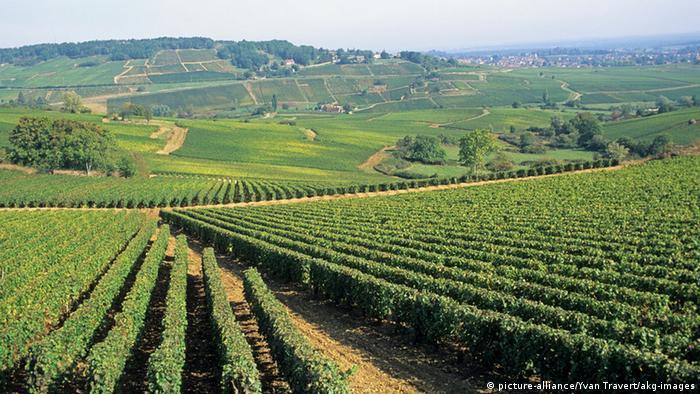 Vinogradi u Burgundiji