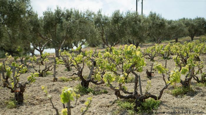 Weinberg auf Kreta