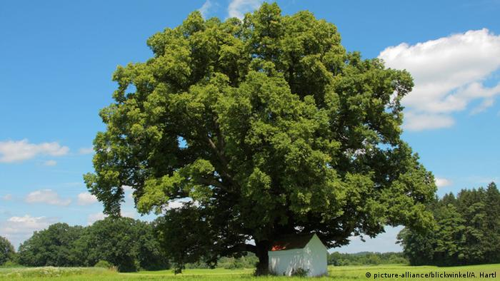A linden tree in a field