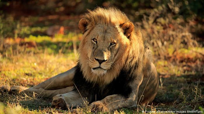 Afrikanischer Löwe, männlich, liegend (Foto: dpa)