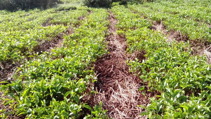 Mulched rows of tea leaves in central Kenya (Photo: Diana Omondi)