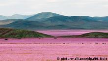 epaselect epa04995633 A picture made available on 25 October 2015 of a general view over a mallow field in the Atacama region, 750 kilometers north of Santiago de Chile, Chile, 21 October 2015. Every five to seven years, the arid Atacama desert becomes a mallow colored flower carpet, as the amount of rain that came down over the hostile northern land during the last months led to the most spectacular blossoming of the past 18 years. EPA/MARIO RUIZ +++(c) dpa - Bildfunk+++ +++(c) picture-alliance/dpa/M. Ruiz