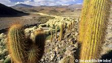 Chile Atacama Wüste Trockenheit Dürre Kakteen