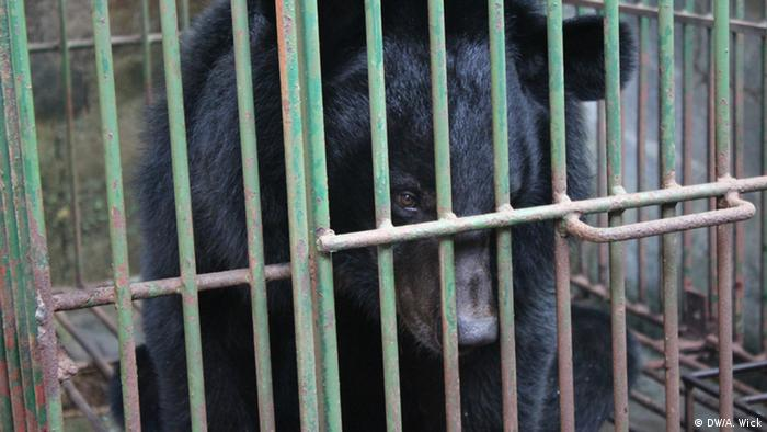 A moon bear on a bile farm in Vietnam before being rescued (DW/A. Wick)