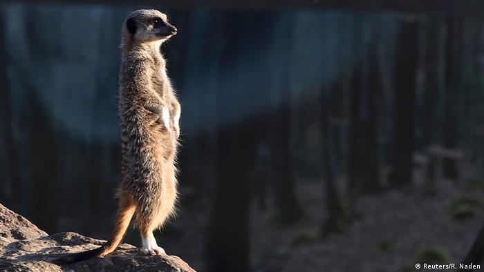 meerkat (Reuters/R. Naden)