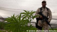 Mexiko Marijuana Plantage