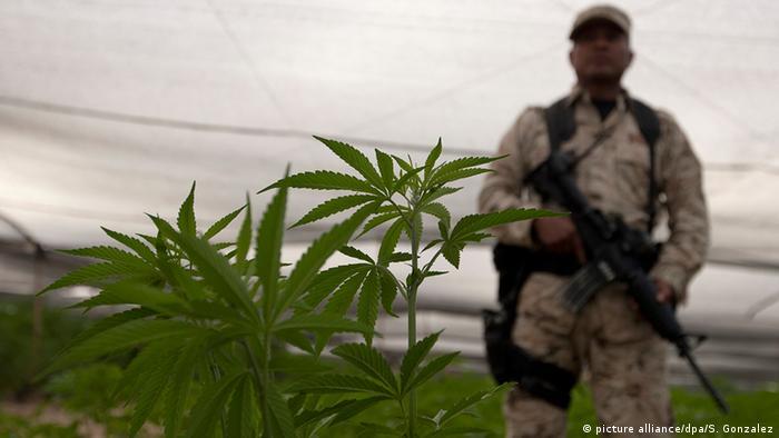 Un soldado custodia una plantación de cannabis en México