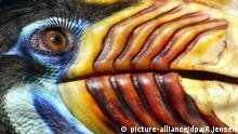 Bildergalerie bunte Vögel Die Sonne reflektiert ein Auge des bunten Sulawesi-Hornvogels am 22.04.2003 im Vogelpark Walsrode. Trotz Bejagung ist dieser Hornvogel im Regenwald Sulawesis in bis zu 1800 Metern Höhe noch zu finden. Horn und Schnabel werden zu Kopfschmuck verarbeitet. Seine bevorzugte Nahrung sind Wildfeigen. Der nicht sehr scheue Großvogel besucht auf der Nahrungssuche auch Dörfer in seinem asiatischen Lebensraum. picture-alliance/dpa/R.Jensen