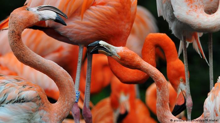 Flamingos Zoo in Dresden Deutschland