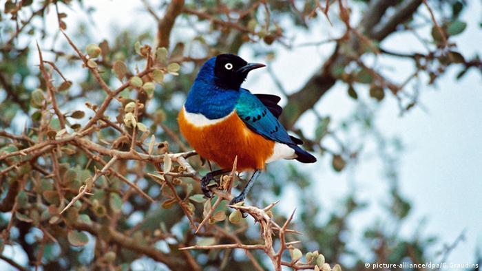 Glanzstar Nationalpark Tsavo West in Kenia