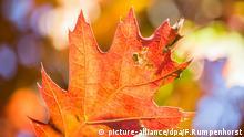 Bildergalerie Herbst Das sich herbstlich verfärbende Blatt einer Stieleiche hängt am 30.09.2015 in Frankfurt am Main (Hessen) noch an einem Straßenbaum. Foto: Frank Rumpenhorst/dpa picture-alliance/dpa/F.Rumpenhorst