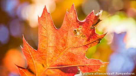 Herbst Blatt Blätter Eiche rot (picture-alliance/dpa/F.Rumpenhorst)