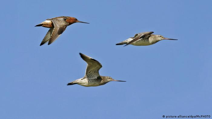 Three bar-tailed godwits