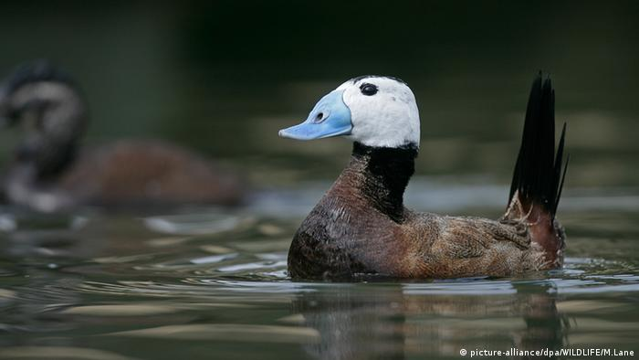White-headed duck (picture-alliance/dpa/WILDLIFE/M.Lane)