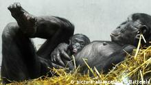 Bonobo-Jungtier Mutter Schimpansen (picture-alliance/dpa/H.Battefeld)
