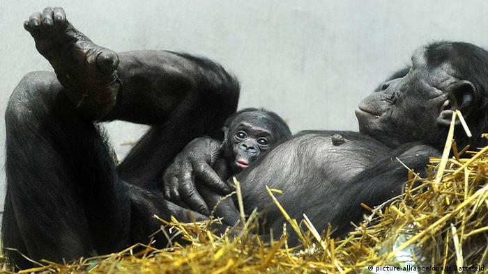 Bonobo-Jungtier mit Mutter Foto: Holger Battefeld/dpa picture-alliance/dpa/H.Battefeld