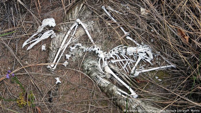 Silbermöwe Skelett