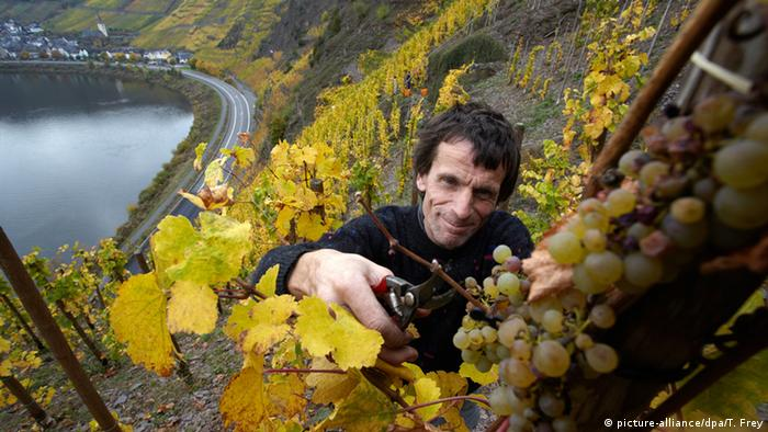 Ein Winzer liest Wein in der Weinlage Calmont an der Mosel in Rheinland-Pfalz. (picture-alliance/dpa/T. Frey)