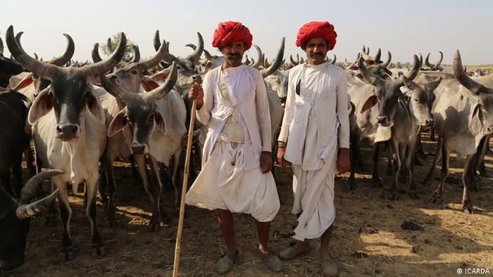 Two men stand with a herd of cattle