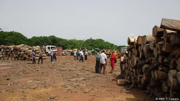 Beschlagnahmte Stämme in Wald von Guinea-Bissau