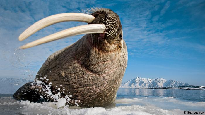 A walrus on the ice