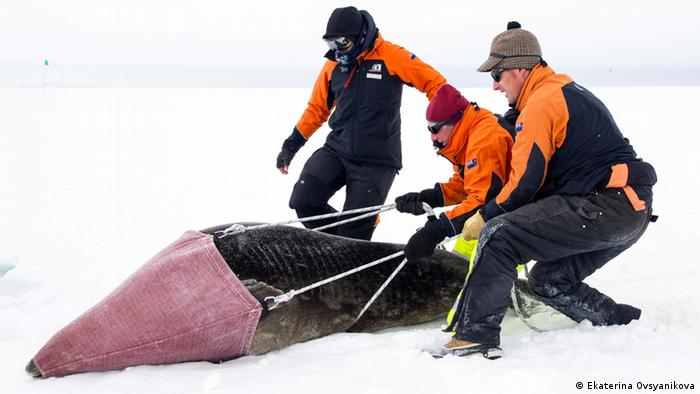 Scientists capturing Weddell seal for sampling (Photo: Ekaterina Ovsyanikova)